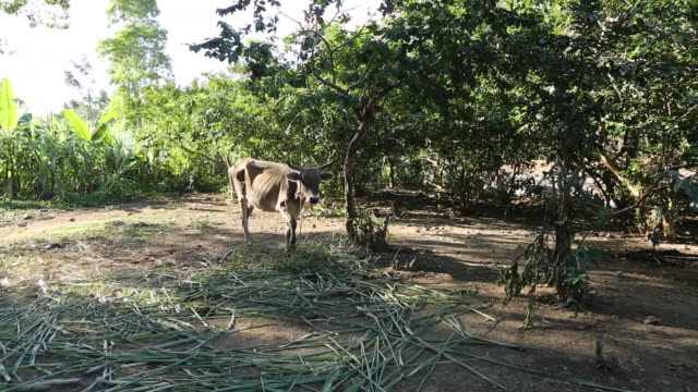a multi clip of a cow that is leached to a tree on a farming area in pilate haiti - hispaniola stock videos and b-roll footage