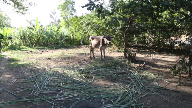 a multi clip of a cow that is leached to a tree on a farming area in pilate haiti - insel hispaniola stock-videos und b-roll-filmmaterial