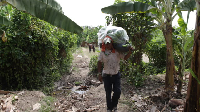 vidéos et rushes de multi clip of workers at the harvesting work of banana punches at the plantation they are cutting and carrying a full banana punch as well old banana... - bananier