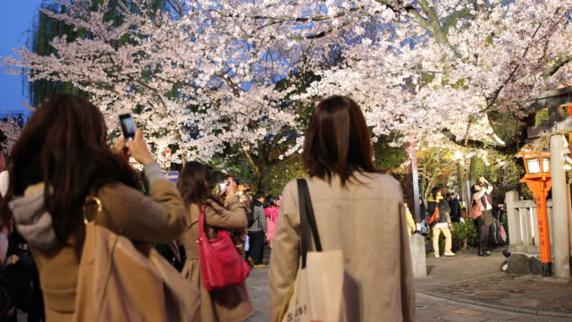 multi clip showing japanese female tourists taking pictures of an illuminated blossoming cherry tree in kyoto at sunset. - great white cherry stock videos & royalty-free footage