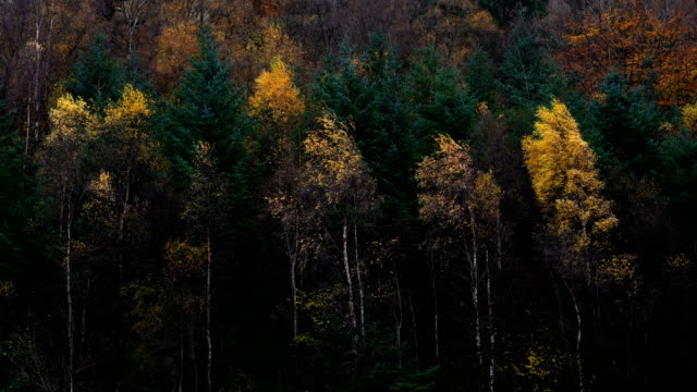 multi colored forest in autumn with windy. - pine tree stock videos & royalty-free footage