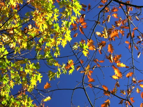 ntsc: multi colored leafs of autumn. - saturated color stock videos and b-roll footage