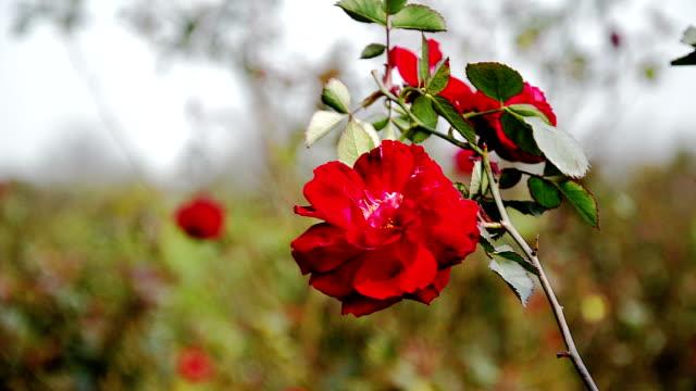 Rose multicolore ondeggianti al vento nel campo