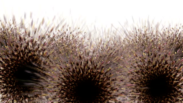 FROM WHITE THISTLE : multi (LOOP)