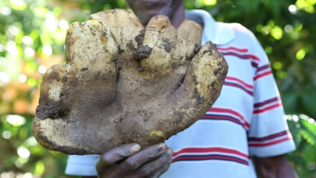 vidéos et rushes de multiclip of the hands of a young farmer who is presenting his harvest results in this case a huge yam on a plantation near pilate haiti - igname