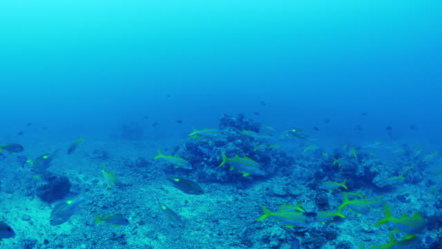 multicolor fish swimming in ocean in tahiti / moorea, french polynesia - moorea stock videos and b-roll footage