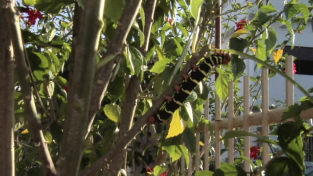 vídeos y material grabado en eventos de stock de cu multi-colored caterpillar hanging on tropical tree branch / trinidad, trinidad and tobago - kelly mason videos