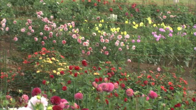 multicolored dahlias bloom in a meadow. - ダリア点の映像素材/bロール