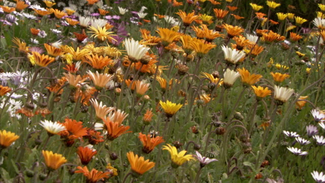 multicolored daisies grow in a field. available in hd. - isles of scilly stock videos & royalty-free footage