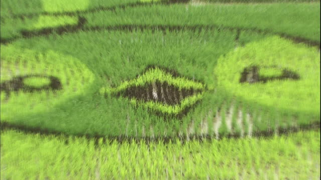 multicolored rice  plants form a penguin pattern in a wide rice paddy. - asahikawa stock videos & royalty-free footage