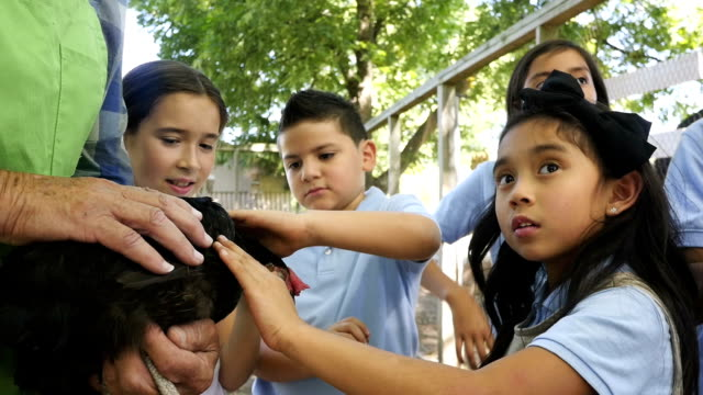 a multi-ethnic group of elementary private school students on field trip pet chicken at a local farm - stroking stock videos & royalty-free footage