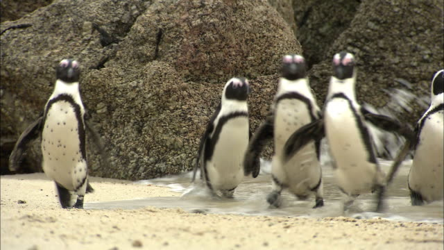 ms multiple african penguins walking on beach / cape town, western cape, south africa - 巨礫点の映像素材/bロール