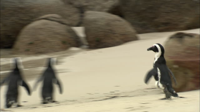 ms pan zi zo multiple african penguins walking on beach / cape town, western cape, south africa - 巨礫点の映像素材/bロール