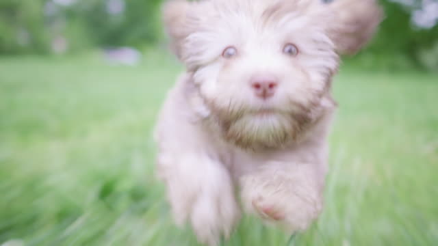 multiple clips of a purebred chocolate havanese puppy running - havanese stock videos & royalty-free footage