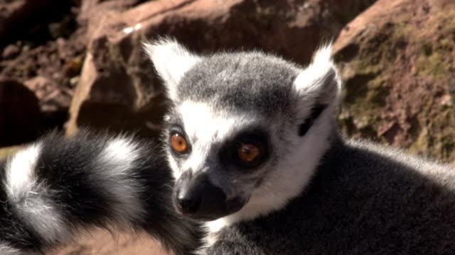 Multiple clips of Lemurs sunbathing