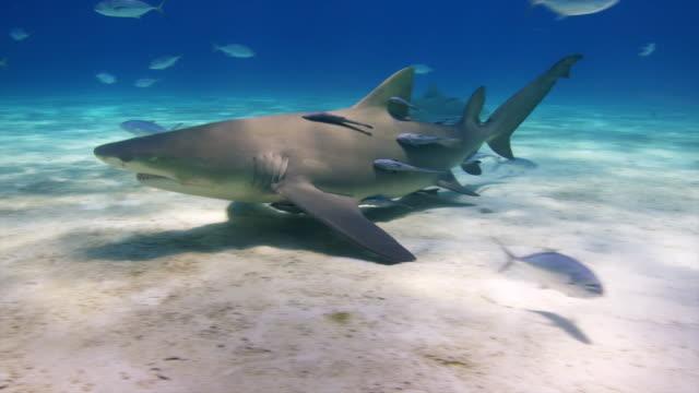 Multiple Lemon sharks with remoras, swim by camera close and up to surface