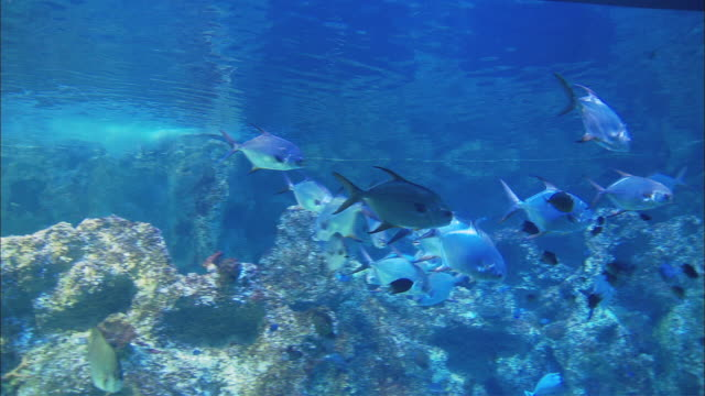ms zi pan multiple species of fish swimming around in sydney aquarium / sydney, new south wales, australia - 水族館点の映像素材/bロール