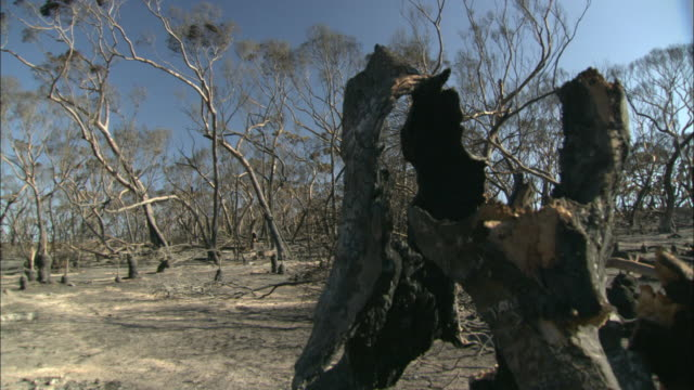 ms pan multiple trees on ground with burnt tree in foreground / eyre peninsula, south australia, australia  - bush stock videos & royalty-free footage