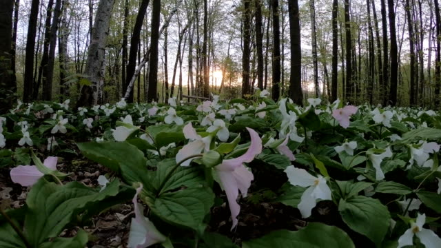 multiple white trillium - trillium stock videos & royalty-free footage