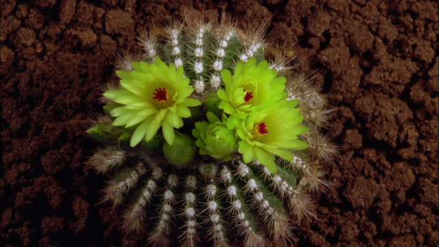 multiple yellow cactus flowers opening and closing available in hd. - flowering cactus stock videos & royalty-free footage