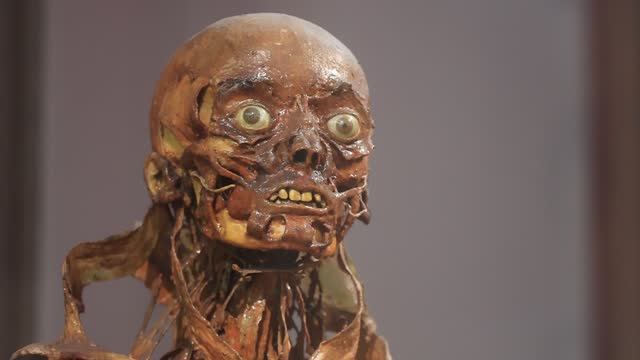 """mummy head known as """"écorchés de fragonard"""" at the fragonard museum, dedicated mainly to preserved animals and anatomical oddities on july 8 in... - anatomy stock videos & royalty-free footage"""