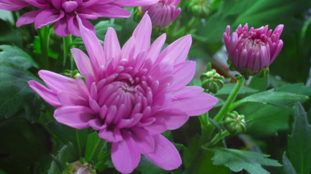 mums or chrysanths 4k - chrysanthemum stock videos & royalty-free footage