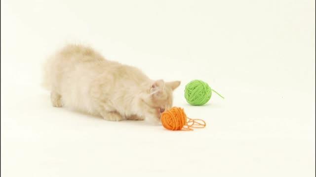 a munchkin kitten sniffs around balls of yarn. - ball of wool stock videos & royalty-free footage