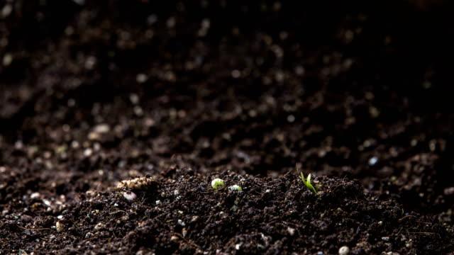 vídeos de stock e filmes b-roll de mung bean seeds growing in soil - botão estágio de flora