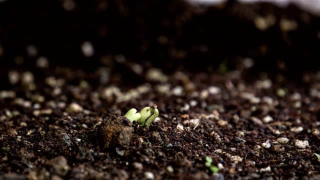 vídeos y material grabado en eventos de stock de mung bean seeds growing in soil - huerto