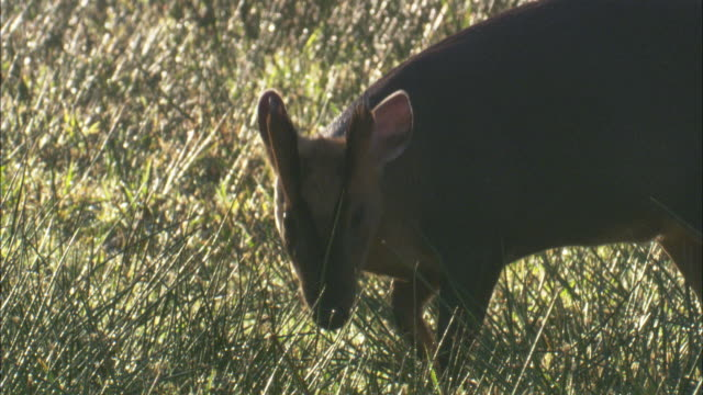 muntjac deer (muntiacus reevesi) in fenland, cambridgshire, uk - fen stock videos and b-roll footage