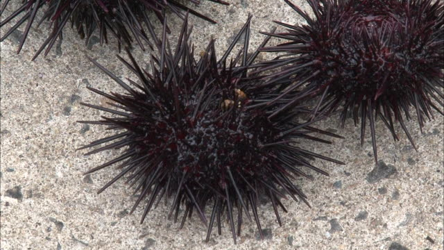 murasakiuni sea urchins walk on the sea floor. - ricci di mare video stock e b–roll