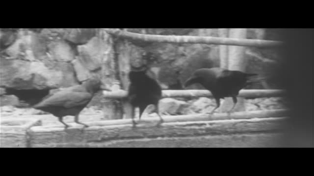 murders of crows mugging/fruit growing at matsuo's house completely eaten by crows pig feed also eaten throwing rocks banging drums pecking at pigs'... - eaten stock videos & royalty-free footage