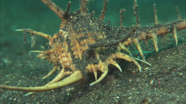 murex snail, walks along muck bottom, medium close up, indonesia  - chiocciola gasteropode video stock e b–roll