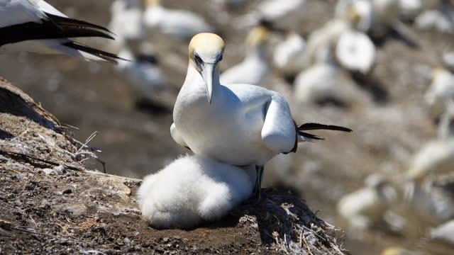 vidéos et rushes de colonie de gannet de muriwai - film documentaire image animée