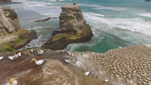vídeos de stock, filmes e b-roll de muriwai gannet colony. - coluna de calcário marítimo