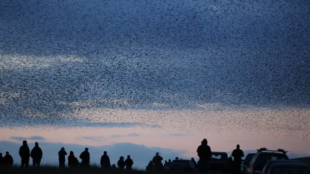 vídeos de stock e filmes b-roll de murmerating flocks of starlings performing aerial balets as they fly over their roost site near sunbiggin tarn in cumbria, uk. - coordenação