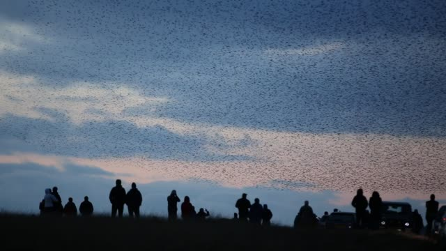 Murmerating flocks of Starlings performing aerial balets as they fly over their roost site near Sunbiggin Tarn in Cumbria, UK.