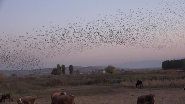 murmuration of starlings flies during the sunrise over the eastern mus province of turkey on november 19, 2019. - starling stock videos & royalty-free footage