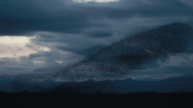 暗い曇りの日にムクドリのつぶやき - ムクドリ点の映像素材/bロール