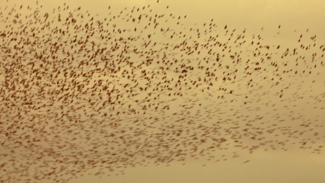 murmuration of starlings - large group of objects stock videos & royalty-free footage
