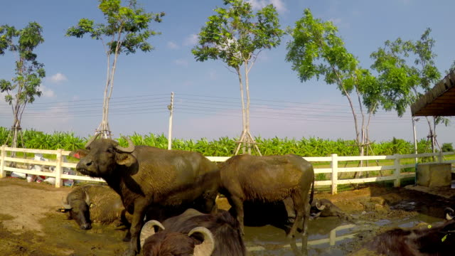 murrah buffalo - milking stock videos & royalty-free footage