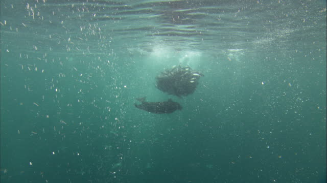 Murres and a steller's sea lion feed on a Pacific herring baitball. Available in HD.