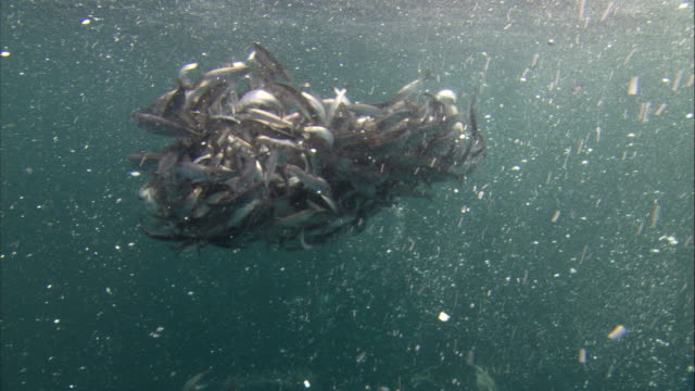 Murres dive into a herring baitball. Available in HD.