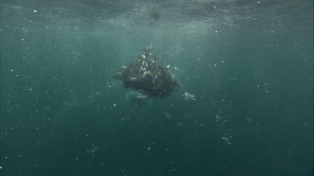 Murres feed on a Pacific herring baitball. Available in HD.
