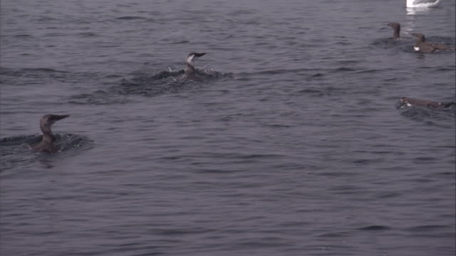Murres swim away as they surface from dives. Available in HD.
