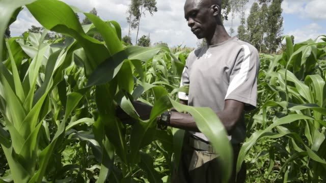 musa lokusi a small scale maize farmer looks for damage to his crop caused by an infestation of fall armyworm caterpillars on a farm in the trans... - infestation stock-videos und b-roll-filmmaterial