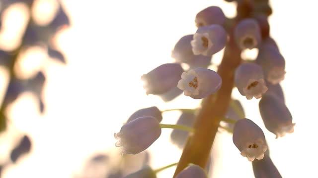 muscari 花マクロ撮影 - ヒヤシンス点の映像素材/bロール