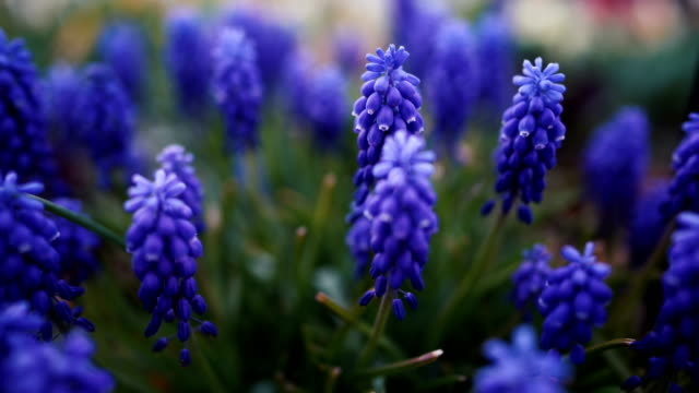 muscari flowers, muscari armeniacum, grape hyacinths spring flowers blooming in april and may. - hyacinth stock videos & royalty-free footage