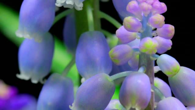 Muscari flowers time lapse