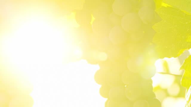 vidéos et rushes de hd dolly: muscat raisin éclairée par la lumière du soleil - lumière vive